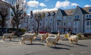 Cabras aprovechan cuarentena e invaden calles de Gales (VIDEO)