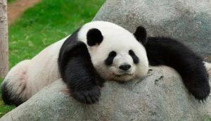 ¡No nos vamos a extinguir! Osos panda se aparean por primera vez en 10 años
