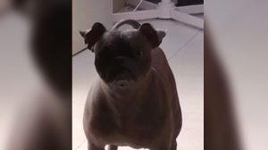 VIRAL: Pugitzcuintle, el perro más feo del mundo (VIDEO)