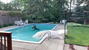 VIDEO: Captan enorme alce nadando dentro de alberca en Canadá