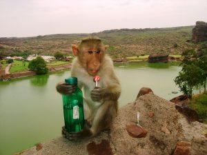 Monos roban muestras de sangre con coronavirus en India