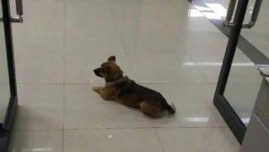 ¿Hachiko, eres tú? Perrito espera en hospital por su dueño muerto por Covid-19