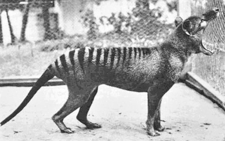 Revelan video inédito de tigre de Tasmania