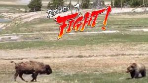 VIRAL: Familia capta 'pelea a muerte' entre oso grizzly y un bisonte