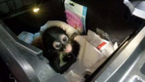 Intentan cruzar mono araña por puente internacional