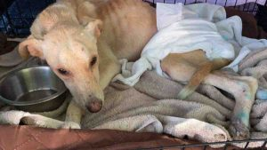 Perrito rescatado en Km 10 en Nuevo Laredo es adoptado en Nueva York