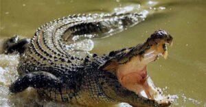 Reportan cocodrilos fuera de hábitat en Tamaulipas