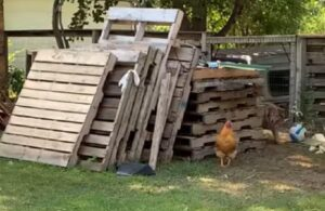 Divertido juego entre un gallo y una perra se viraliza en redes (VIDEO)
