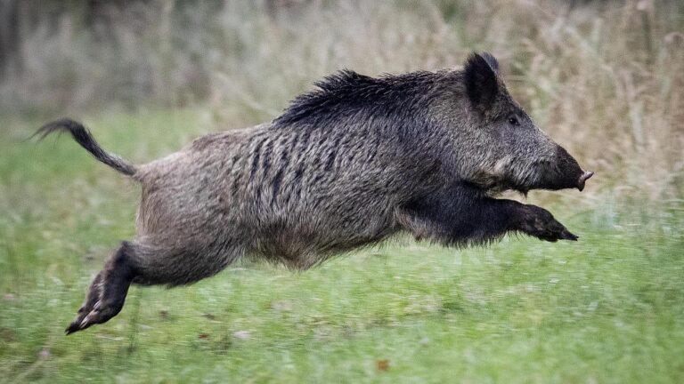 Detecta Alemania caso de Peste Porcina en un un jabalí