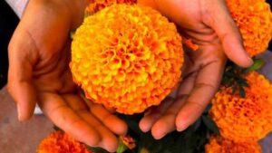 Cuál es el origen y significado de la flor de cempasúchil, la reina de los altares