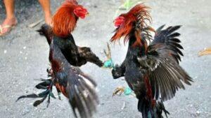 Insólito: Gallo de pelea mata a policía en una redada