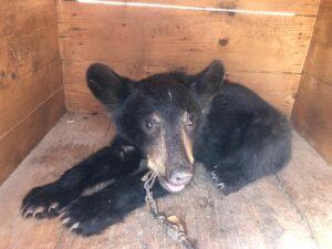 Capturan oso en Nuevo Laredo