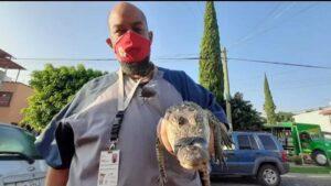Capturan a cocodrilo que se paseaba por las calles de Zapopan, Jalisco