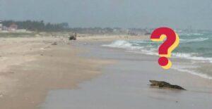 ¿Pueden los cocodrilos llegar a playa Miramar?