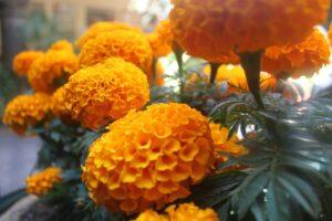 Flor de cempasúchil : esta es la leyenda que no conocías (VIDEO)