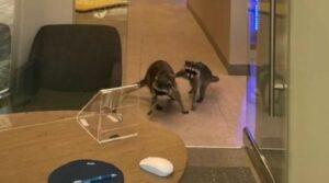 Mapaches invaden banco en California (VIDEO)