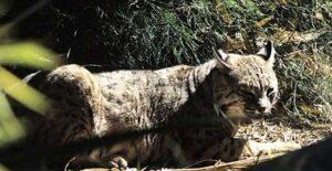 Confunden gato gigante con leopardo en parque de Tampico FOTOS