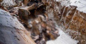 Dinamarca comienza el sacrificio ilegal de visones por mutación del covid