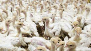 Miles de pollos serán sacrificados por brote de Gripe Aviar