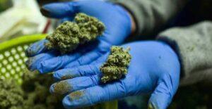 Ofrecen trabajo para catador de productos de marihuana con sueldo de 58 mil pesos
