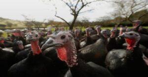 Por brote de gripe aviar sacrificarán pavos en Reino Unido