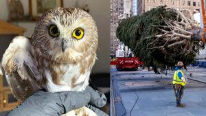 Liberarán al pequeño búho encontrado en el árbol del Rockefeller Center
