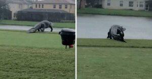 Captan cocodrilo gigante en campo de golf en Florida (VIDEO)