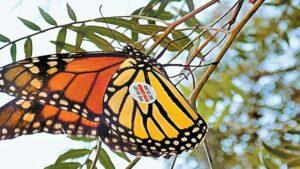 Mariposa monarca etiquetada en Iowa es encontrada en Guanajuato