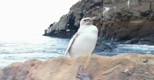 Encuentran 'raro' pingüino blanco en islas Galápagos