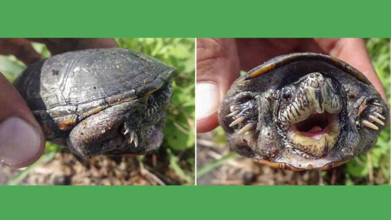 Tortuga COra mexicana, nueva especie en el mundo