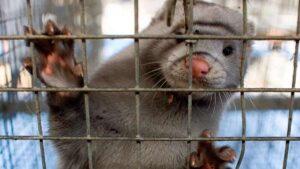 Granja de visones en Oregón registra brote de COVID-19 entre sus animales y personal