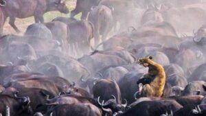 Se invierten los papeles, búfalos atacan y matan a leona (VIDEO)