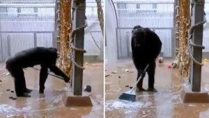 Chimpancé sorprende al limpiar el piso de su jaula con la escoba (VIDEO)