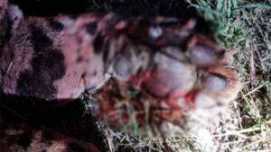 Encuentran jaguar atropellado en carretera Victoria-Matamoros