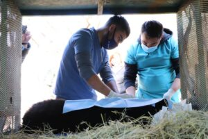 Liberan a pequeño oso que fue atropellado en carretera Monterrey-Laredo