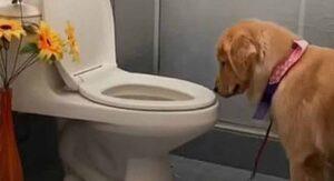 """Perrito conquista las redes por hacer en la taza de baño """"como humano"""""""