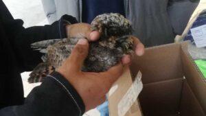 Encuentran en maquiladora a una pequeña cría de tecolote, especie en grave peligro de extinción