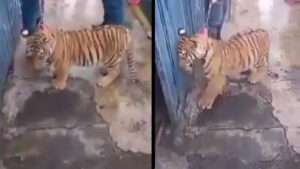 Con correa pasean en calles a cachorro de tigre de Bengala para que la gente se tome fotos (VIDEO)