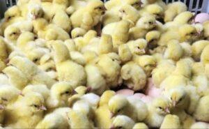 Alemania prohibirá trituración de pollitos recién nacidos