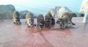 Echan vidrios y basura en comederos de mapaches en Miramar