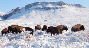 No es Denver… ¡Es Coahuila! Después de 100 años hay bisontes en México