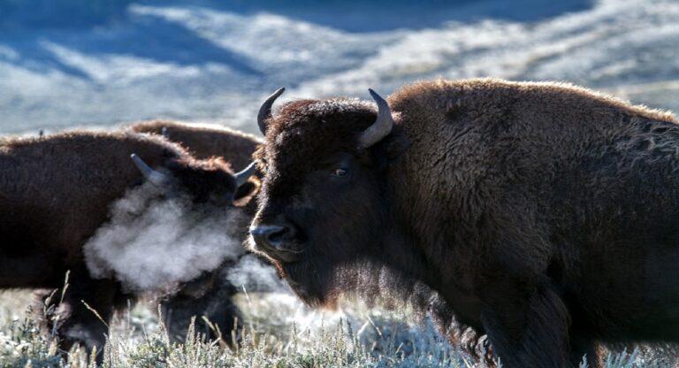 bisontes en coahuila