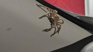 Saca una enorme araña cazadora de su auto y lo encuentra después lleno de telarañas (FOTOS)