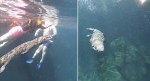 Captan en Tulum a cocodrilo nadando entre turistas (VIDEO)