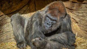 Gorilas del zoológico de San Diego dan positivo por Covid-19