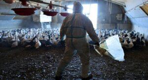 Por brote de gripe aviar sacrifican a más de 200 mil patos