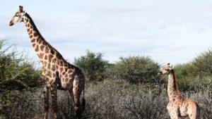 Descubren jirafas enanas; científicos quedan atónitos (VIDEO)