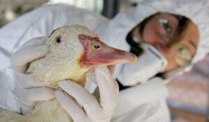 Reportan sacrificio masivo de patos por brote de gripe aviar en Francia