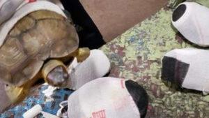 Tráfico de animales: Rescatan tortugas envueltas en calcetines
