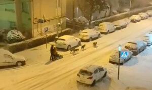 VIDEO: Hombre pasea por Madrid en trineo tirado por perros